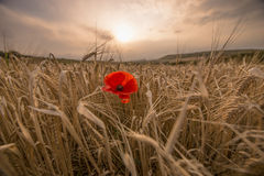 Single red poppy at sunrise Stock Photos
