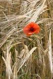 Single red poppy in wheat field  France Stock Photo