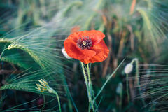 Single red poppy in a wheat field. Macro photo of a red flower Stock Image