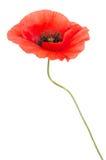 Single red poppy Stock Image