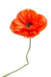 Single red poppy Royalty Free Stock Photography