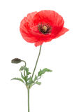 Single red poppy Stock Images
