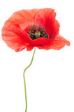 Single red poppy Royalty Free Stock Photography