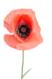 Single red poppy Royalty Free Stock Images