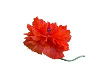 Single red poppy on white Royalty Free Stock Photos