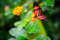 Single Red Postman Butterfly or Common Postman Stock Photography