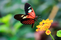 Free Single Red Postman Butterfly Or Common Postman (Heliconius Melpomene) Stock Photo - 72444270