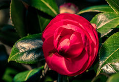 Single Red and Purple Rose Stock Image