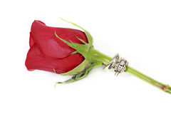 Single red rose stock photography