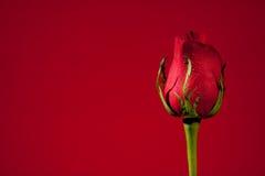 Single Red Rose stock photos
