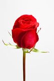 single red rose Royalty Free Stock Image