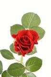 Single red rose stock image