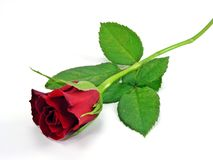 A single red rose Royalty Free Stock Image