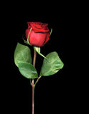 Single Red Rose. High resolution single red rose isolated on black background Royalty Free Stock Images