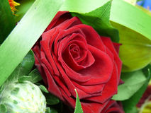 Single red rose. A closeup of a beautiful single red rose surrounded with green leaves Royalty Free Stock Image