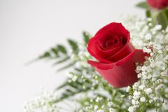 Free Single Red Rose Stock Photography - 492532