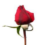 Single Red Rose Royalty Free Stock Photos