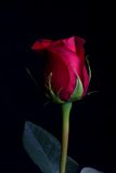 A single red rose. A romantic single red rose Royalty Free Stock Photos