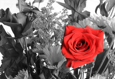 Single Red Rose in a Bouquet Stock Photography