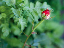 Single red rose bud royalty free stock photos