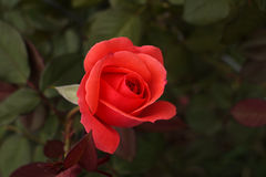 Single red rose bud. Fresh red rose bud in the garden Royalty Free Stock Image