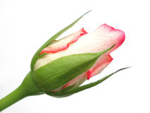 Single red rose bud on white background. The symbol of love Royalty Free Stock Images
