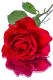Red rose with dew drops and refreshing Stock Image