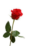 Single red rose with drops of dew isolated on white Stock Photos