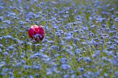 Single red rose in a field of blue little flowers. Royalty Free Stock Photos