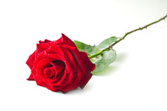Single red rose flower. Isolated on white background Stock Photography