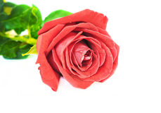 Single red rose flower Stock Image