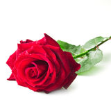 Single red rose flower Royalty Free Stock Photography