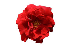 Single red rose flower top view isolated. On a white background Stock Photo