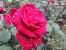 Single red rose flower with water droplets in spring Royalty Free Stock Photos