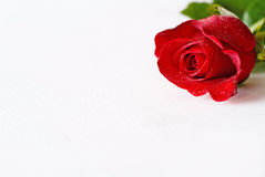 Single red rose and foliage Royalty Free Stock Photo