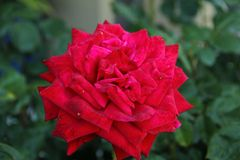 Single red rose Royalty Free Stock Images