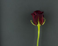 A Single Red Rose on a Grey Background. A single dark red rose against a grey background with a green stem stock image