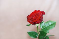 Single red rose on grey background. Single red rose with steam before grey background with some wrinkles royalty free stock photo