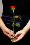 Single red rose in hand. Back of woman with red rose in hand Stock Image