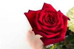A single red rose is isolated in a flower bouqet. Downward angle viewpoint. A red rose is isolated amongst a bouqet of flowers on a white background. The royalty free stock photography