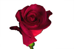 Single Red Rose Isolated Stock Photos