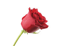 Single red rose isolated on white background Stock Photos