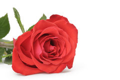 Single red rose isolated on white Royalty Free Stock Images