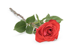 Single red rose isolated on white Stock Photos