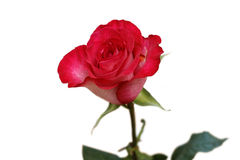 Single red rose isolated on white Royalty Free Stock Photography