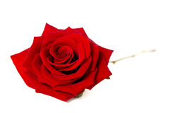 Single red rose isolated on a white background Stock Photos