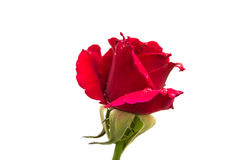 Single red rose isolated on white background Royalty Free Stock Image