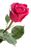Single red rose isolated on white Stock Image