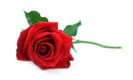 Single red rose, lay down on white table Royalty Free Stock Photo