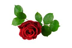 Single red rose with leaf isolated on white royalty free stock photography